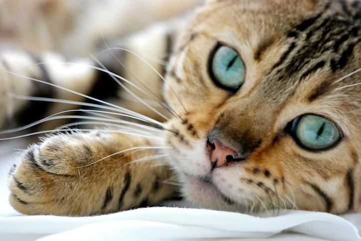 Se il vostro gatto ha questi sintomi sui cuscinetti, attenzione...
