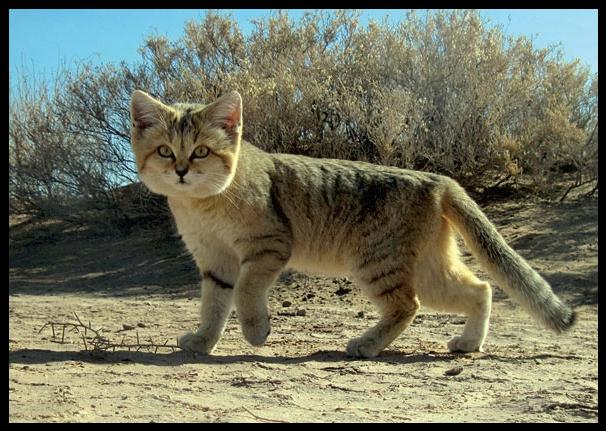 Il gatto del deserto, o delle sabbie