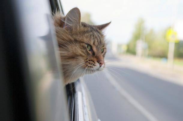 In macchina, micio