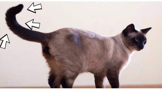 Le 6 cose che i gatti fanno con la coda