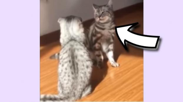 Con una mossa bene assestata, questo gatto mette ko il suo nemico!