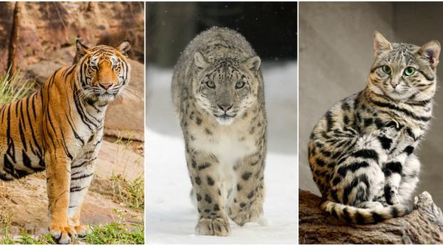 I gatti selvatici che rischiano davvero l'estinzione