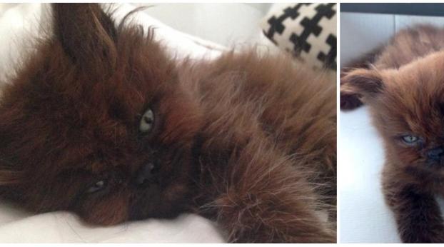Adotta un bellissimo gattino raro, e dopo un anno la differenza è incredibile