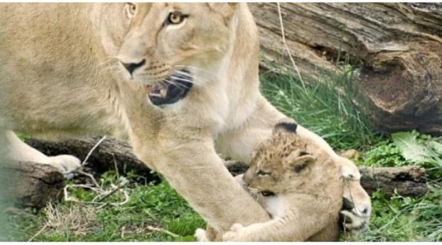 Ecco cosa ha fatto questo zoo con questi 9 cuccioli di leone